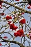 Geïsoleerd close-up van rode die lijsterbes op de takken met rijp tegen de blauwe hemel in een de winter zonnige dag worden behan Stock Afbeeldingen
