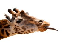 Geïsoleerd girafhoofd royalty-vrije stock foto's