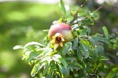 Geïsoleerd granaatappelfruit Royalty-vrije Stock Afbeelding