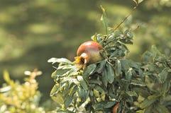 Geïsoleerd granaatappelfruit Royalty-vrije Stock Foto's