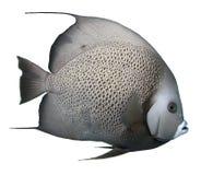 Geïsoleerd Grey Angelfish - stock foto