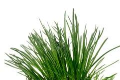 Geïsoleerd groen gras op een witte achtergrond Stock Afbeelding
