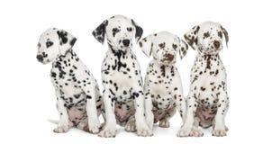 Geïsoleerd groep die Dalmatische puppy, zitten Stock Foto