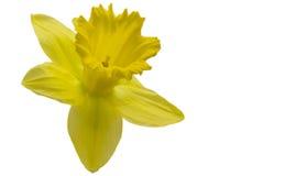 Geïsoleerd hoofd van een gele narcis op witte achtergrond Royalty-vrije Stock Fotografie