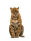 Geïsoleerd Jaguar (Panthera-onca) Stock Fotografie