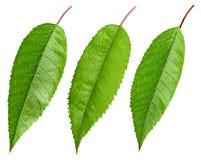 Geïsoleerd kersen groen blad stock foto