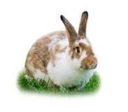Geïsoleerd1 konijn Royalty-vrije Stock Afbeelding