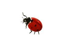 Geïsoleerd lieveheersbeestje royalty-vrije stock afbeelding