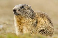 Geïsoleerd marmotportret Stock Fotografie