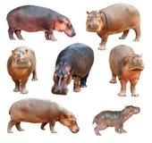 Geïsoleerd nijlpaard Stock Afbeelding
