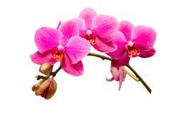 Geïsoleerd op witte enige tak van purpere orchideebloem Royalty-vrije Stock Foto's