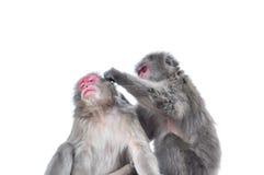 Geïsoleerd op witte Japanse macaque als achtergrond, Arashiyama, Kyoto royalty-vrije stock afbeeldingen