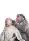 Geïsoleerd op witte Japanse macaque als achtergrond, Arashiyama, Kyoto stock foto's