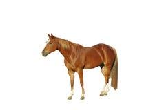 Geïsoleerd paard Royalty-vrije Stock Foto
