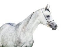 Geïsoleerd portret van Arabisch grijs veulen Stock Foto