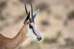 Geïsoleerd Portret van een vrouwelijke Springbuck, Struthio-camelus royalty-vrije stock foto's