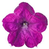 Geïsoleerd purple van de petuniabloem stock afbeelding
