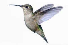 Geïsoleerd robijnrood-Throated Kolibrie op wit stock afbeelding