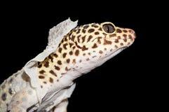 Geïsoleerd Schot die van Luipaardgekko Huid afwerpen royalty-vrije stock foto
