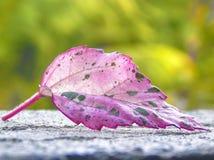 Geïsoleerd schot van een kleurrijk blad Royalty-vrije Stock Foto