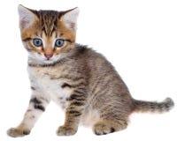 Geïsoleerd Shorthair getijgerd katje royalty-vrije stock afbeelding