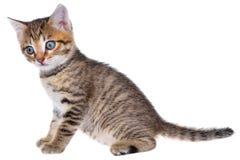 Geïsoleerd Shorthair getijgerd katje stock foto's