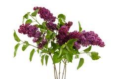 Geïsoleerd Syringa vulgaris royalty-vrije stock afbeeldingen