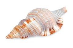 Geïsoleerd zeeschelpshell royalty-vrije stock afbeeldingen