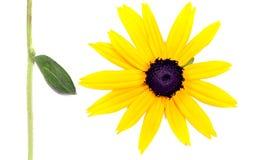 Geïsoleerd3 zonnebloem en blad Royalty-vrije Stock Fotografie