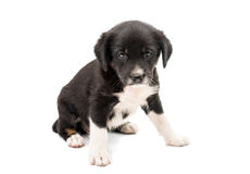 Geïsoleerdb puppy Stock Foto's