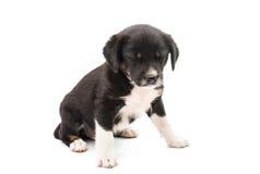 Geïsoleerdb puppy Royalty-vrije Stock Fotografie