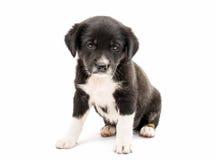 Geïsoleerdb puppy Royalty-vrije Stock Foto