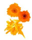Geïsoleerdd de goudsbloemkruid van de pot Royalty-vrije Stock Foto