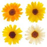 Geïsoleerdeàde bloemen van Calendula Royalty-vrije Stock Foto's