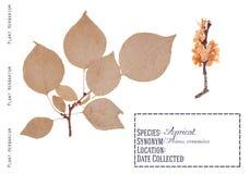 Geïsoleerde abrikozenboom Royalty-vrije Stock Afbeelding