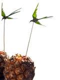 Geïsoleerde ananassen Stock Afbeeldingen