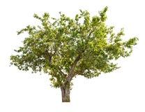 Geïsoleerde appelboom met groene vruchten Stock Foto's