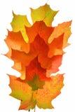 Geïsoleerde Atumn esdoornbladeren stock foto