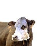 Geïsoleerde baldy koe royalty-vrije stock foto