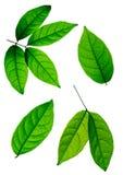 Geïsoleerde bladeren met het druppeltje van water Royalty-vrije Stock Afbeelding