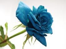 Geïsoleerde Blauwe Rose Flower een Witte Achtergrond royalty-vrije stock afbeelding