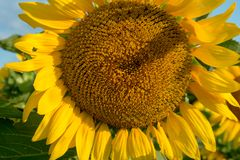 Geïsoleerde bloeiende zonnebloem onder de vroege ochtendzon stock foto