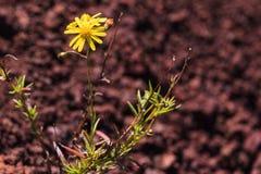 Geïsoleerde bloem Royalty-vrije Stock Foto