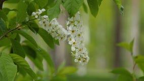 Geïsoleerde bloem van sering op een tak Bloeiende witte bloemen in tuin in de lente groene Bladeren stock video