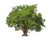 Geïsoleerde Bodhi-boom op witte achtergrond Stock Foto's