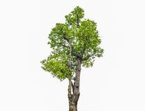 Geïsoleerde bomen Royalty-vrije Stock Afbeelding
