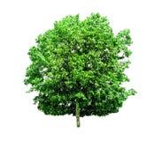 Geïsoleerde bomen op witte achtergrond, de inzameling van bomen, Fil royalty-vrije stock foto's