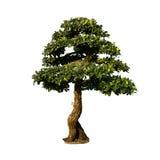 Geïsoleerde bonsaiboom Stock Afbeelding