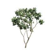 Geïsoleerde boom Stock Fotografie