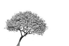 Geïsoleerde boom Stock Afbeeldingen